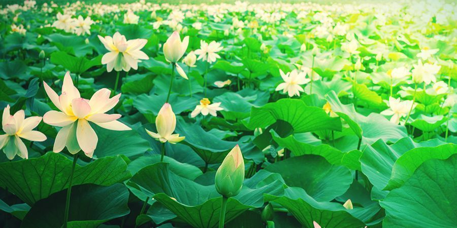 WAT IS DE WITTE LOTUS?