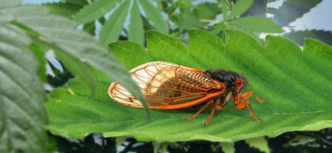 Cicaden (Empoasca Decipiens)