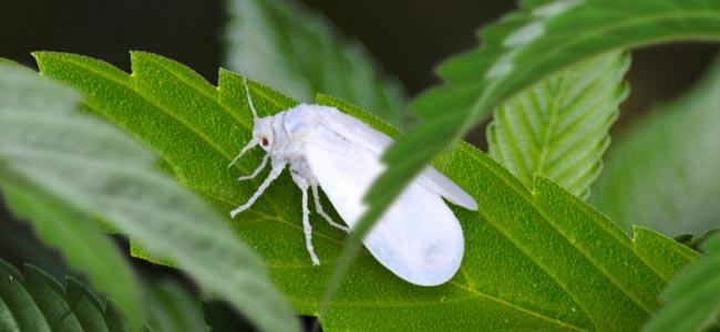 Witte Vlieg