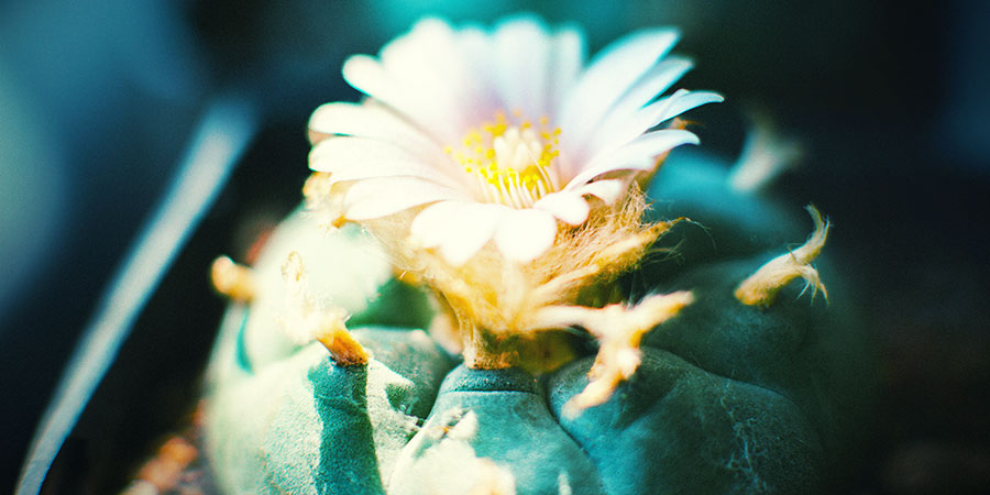 peyote Lophophora williamsii