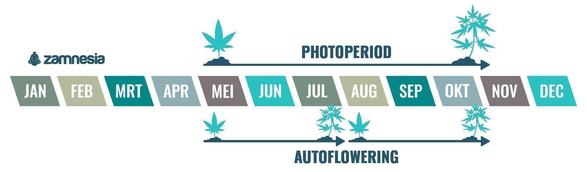 De cannabisplant is een eenjarige plant
