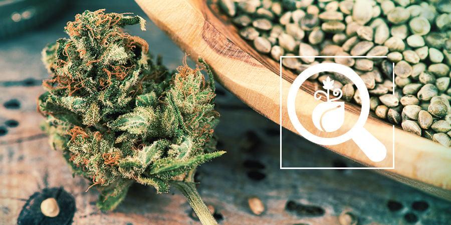 Cannabis Seedfinder: Vind De Beste Wietzaadjes