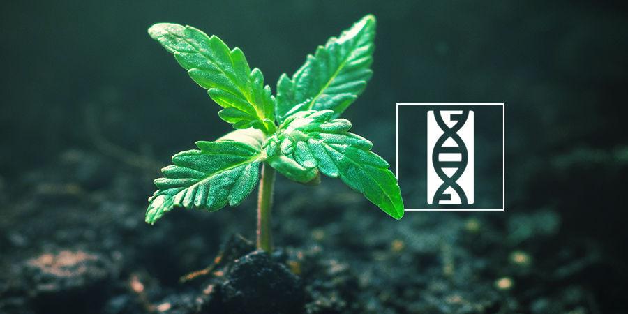 Cannabis Seedfinder: Genetica Van Wietzaadjes