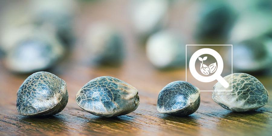 Cannabis Seedfinder: Variaties In Wietzaadjes