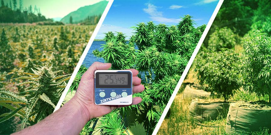 Cannabis Seedfinder: Klimaat