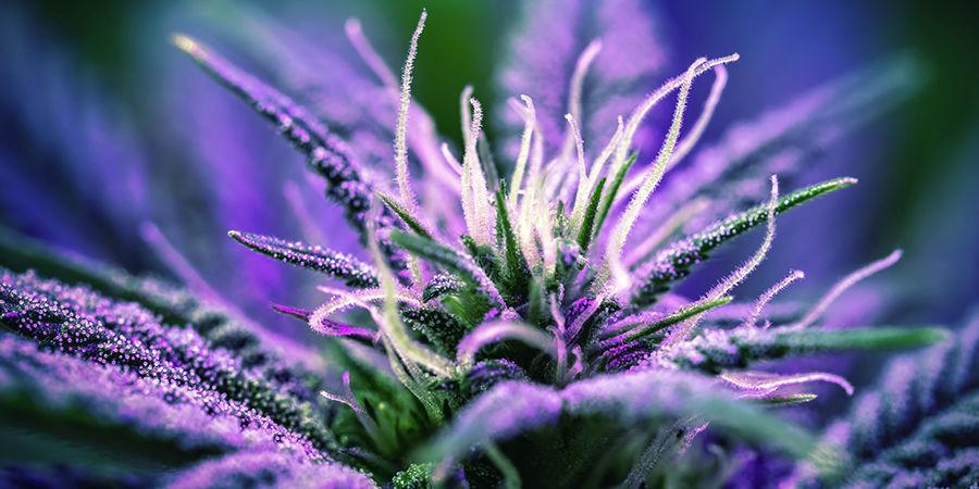 Cannabis Seedfinder: Bloeitijd