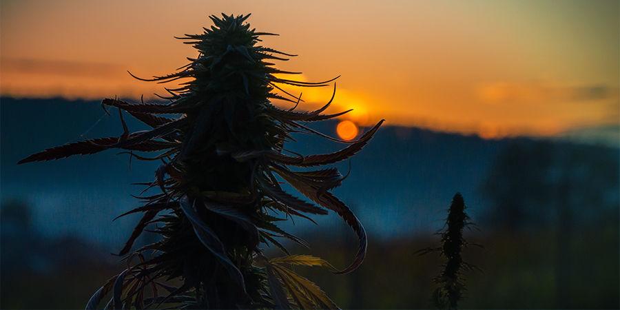 Cannabis Seedfinder: Formaat Van De Plant