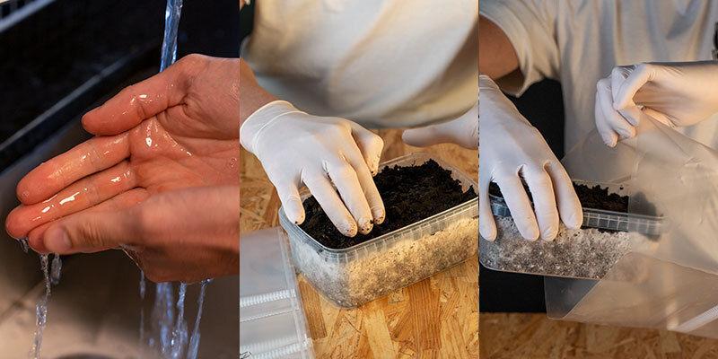 Copelandia Hawaiian Paddo Kweekset voorbereiding