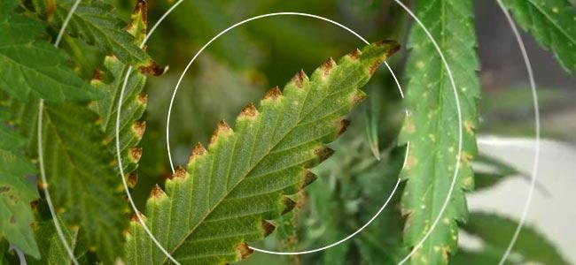 Tabaksmozaïekvirus (TMV)