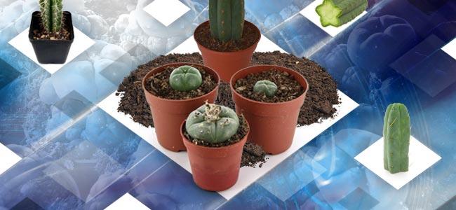 Kweken Met Mescaline Cactus Cuttings