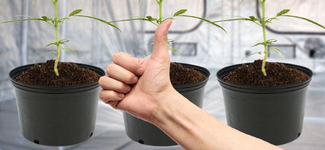 Beste Potmaat Voor Je Cannabis Plant