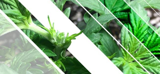 Het Toppen Van Cannabisplanten