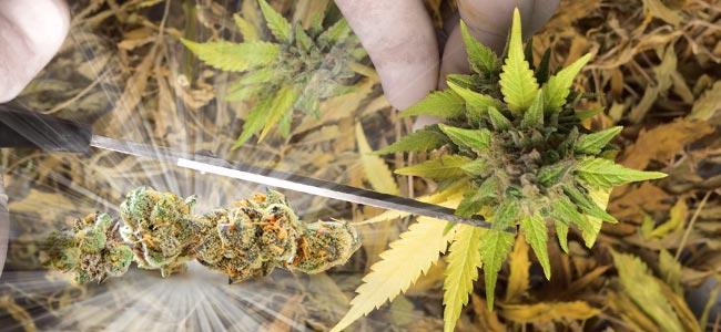 Manicuren Van Cannabis