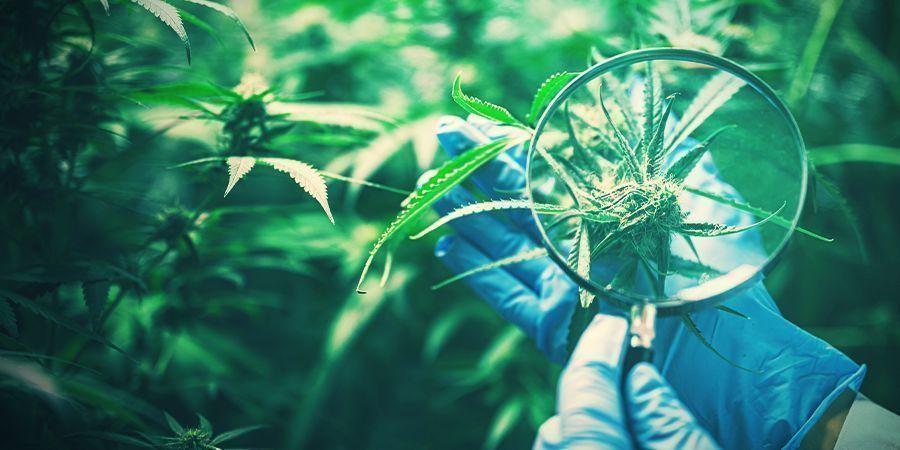 Behoud Van Gewenste Cannabisgenetica