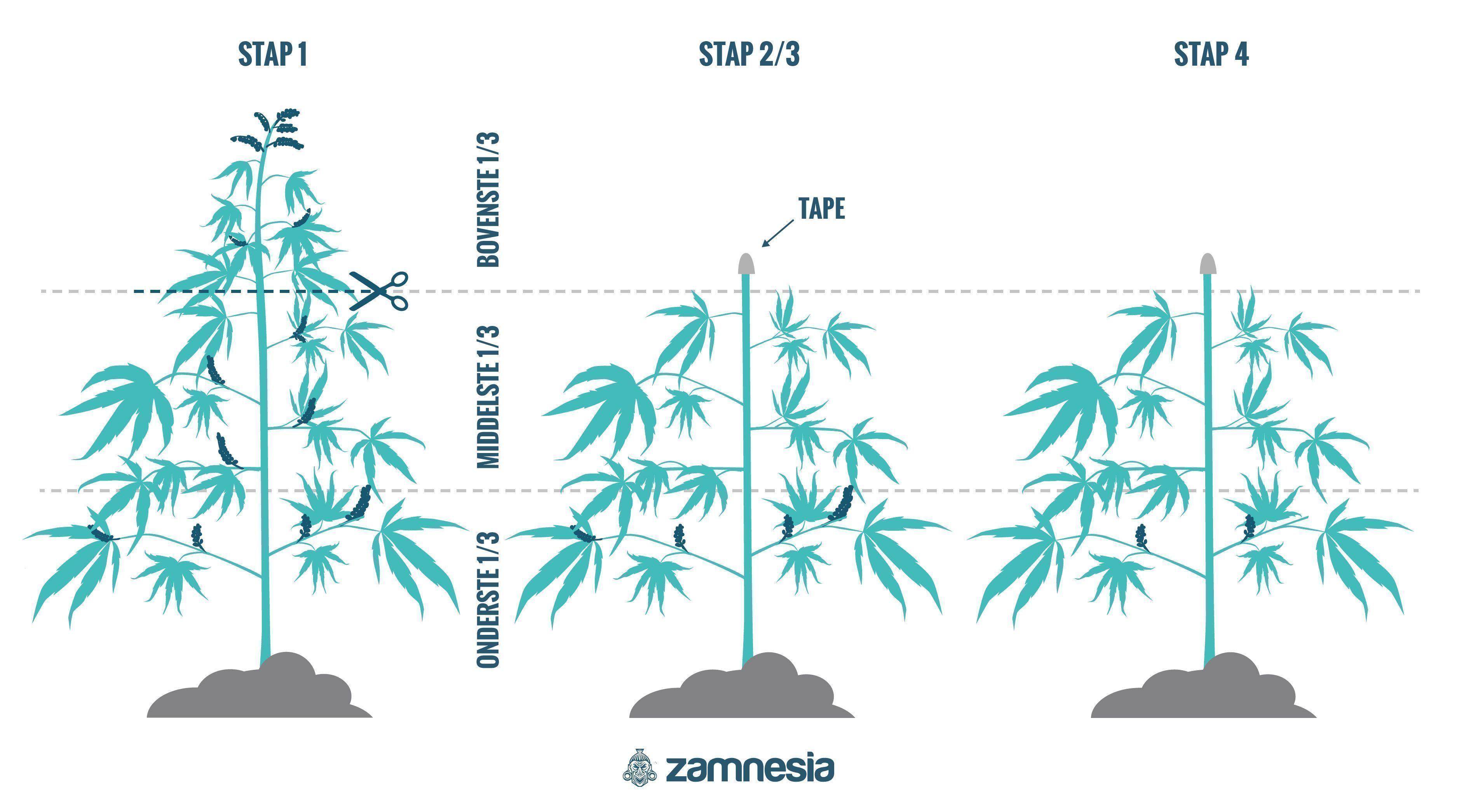 Hoe Regenereer Je Cannabisplanten?