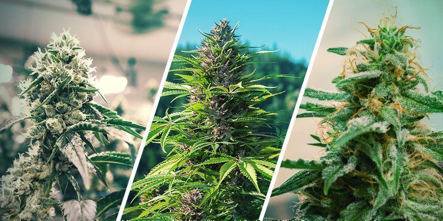 Wietplanten Regenereren: Binnen Versus Buiten Versus Autoflowers