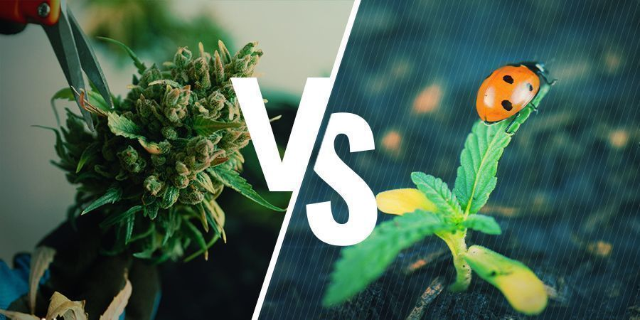 Voor- En Nadelen Van Het Regenereren Van Cannabis