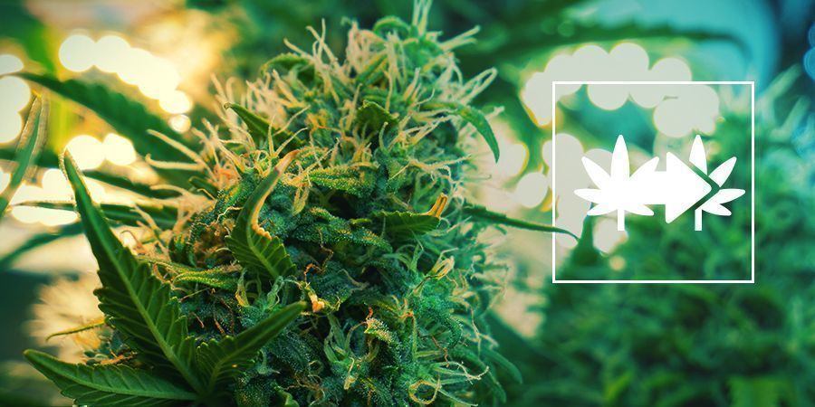 Het Klonen Van Cannabis
