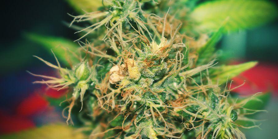 Door mainlining ontwikkelt de plant zich veel gelijkmatiger
