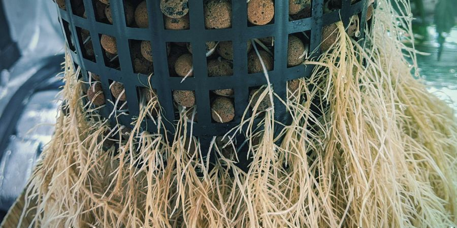 Hoe snoei je wortels in een hydrocultuursysteem?