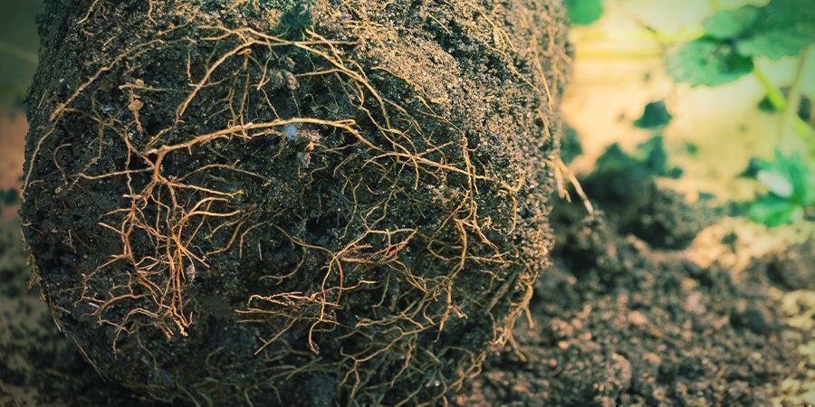 Hoe snoei je wortels in aarde?
