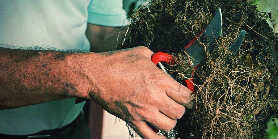 Hulpmiddelen en richtlijnen voor het snoeien van cannabiswortels