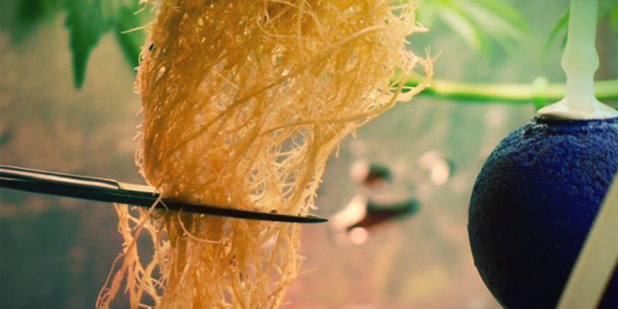 Wat houdt het snoeien van cannabiswortels in?