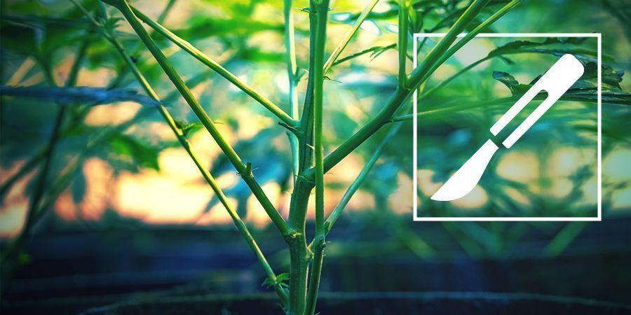 Gids Voor Het Splitsen Van Cannabis Stammen
