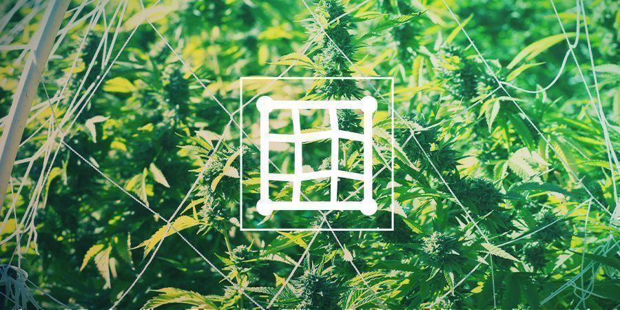 Cannabis En De Trellis: Alles Wat Je Weten Moet