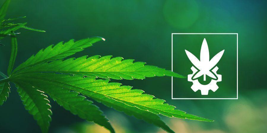 Diepgaande Beschouwing Over Cannabis Ruderalis En Autoflowers
