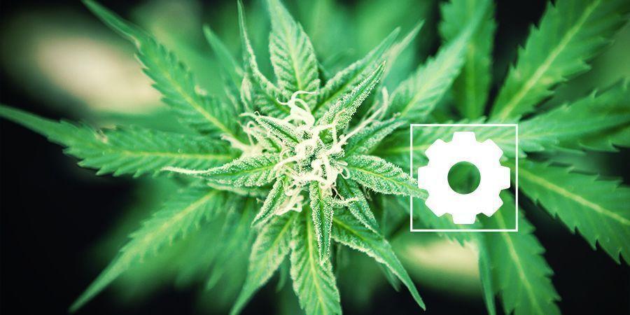 Eigenschappen van Cannabis ruderalis