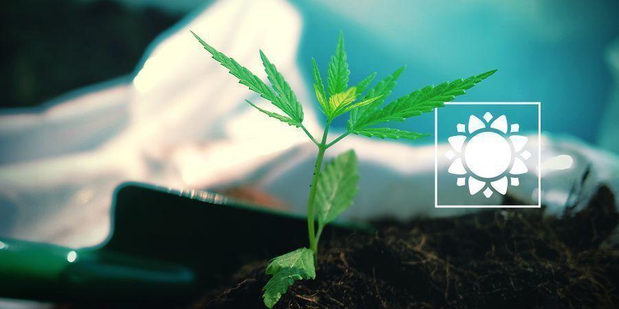 Wanneer plant je ruderalis strains (autoflowers)?