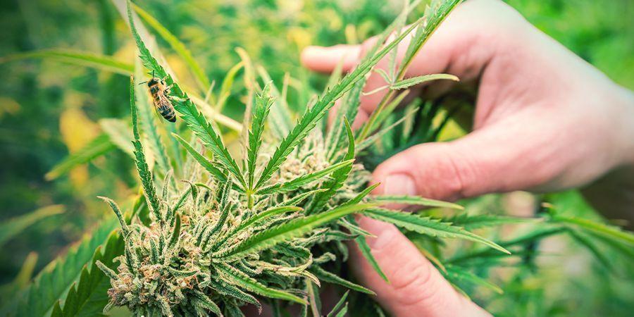 Hoe Je Een Sativa Cannabis Plant Herkent