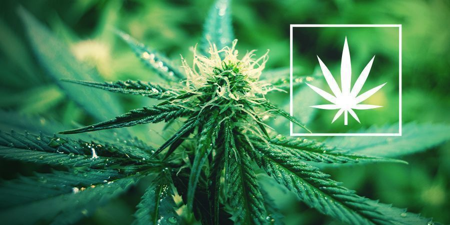 Wat Is Cannabis Sativa?