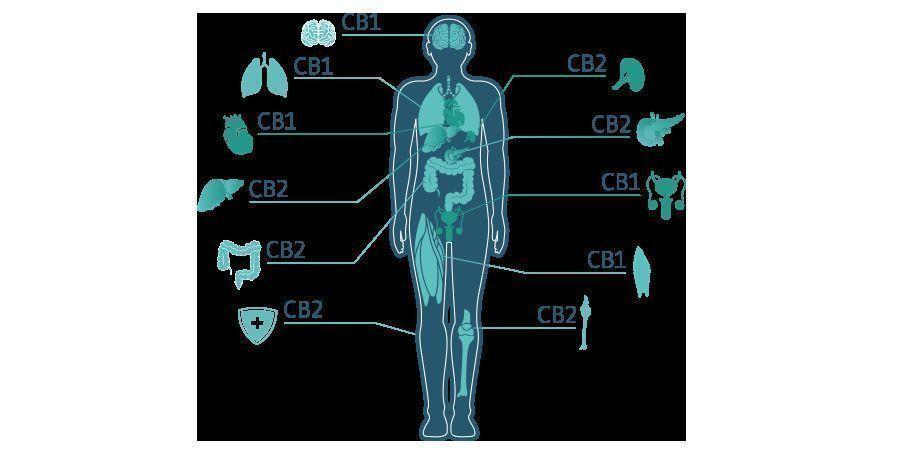 THC En Het ECS