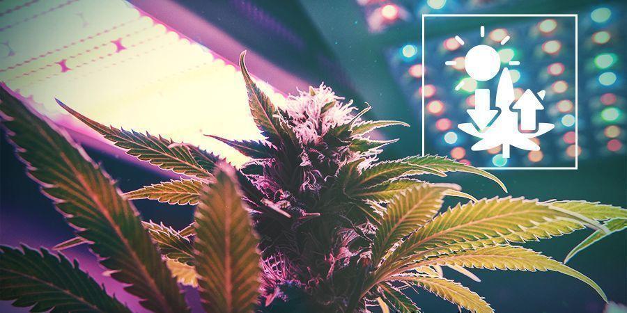 Wiet En Fotosynthese