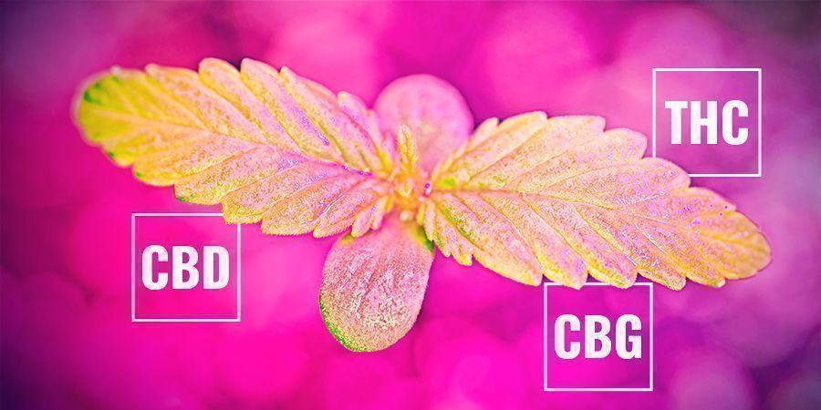 In Hoeverre De Snelheid Van Fotosynthese Cannabinoïden Beïnvloedt