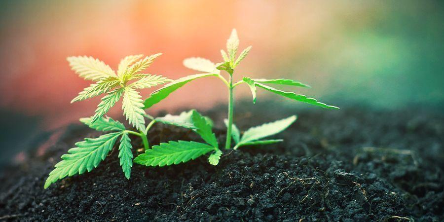 Zaailing Fase Van Cannabis