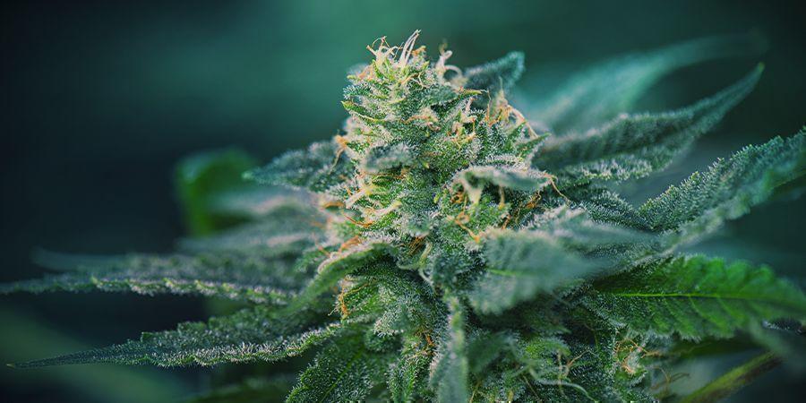 Cannabis Bloeifase