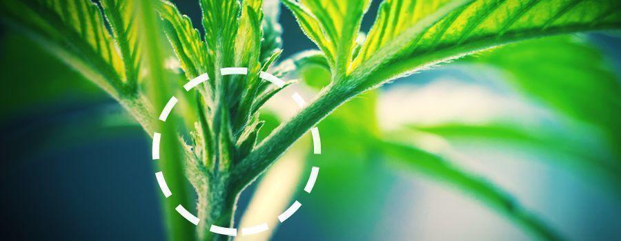 MANNELIJK EN VROUWELIJK cannabis