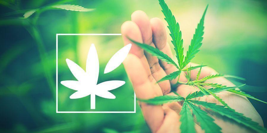 Cannabis Anatomie