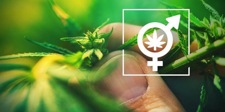 Het Geslacht Van Je Cannabisplanten Bepalen
