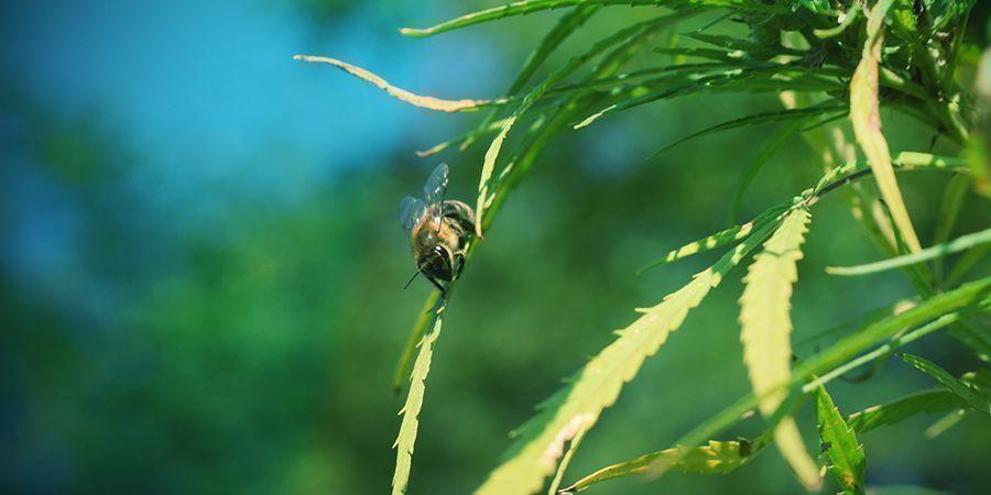 Bestuiving Van Cannabisplanten
