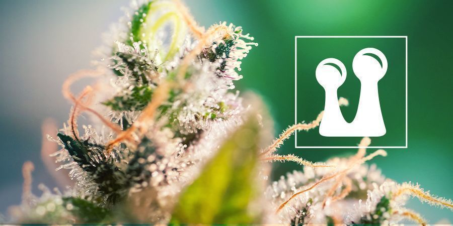 Cannabis Trichomen