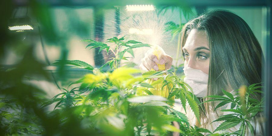 Professionele cannabis kwekers