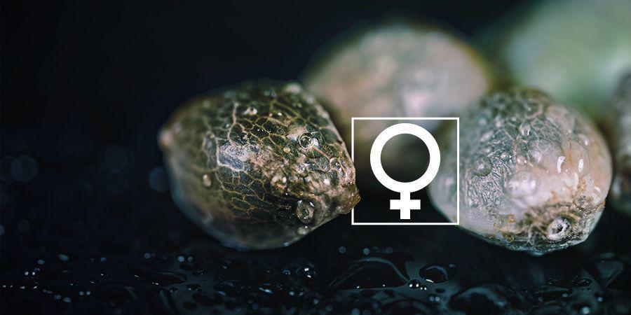 Kun je thuis feminized wietzaadjes maken?