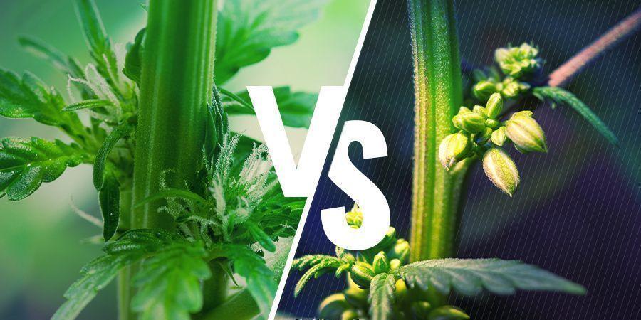 Cannabis-Plantengeslachten: mannelijke versus vrouwelijke planten
