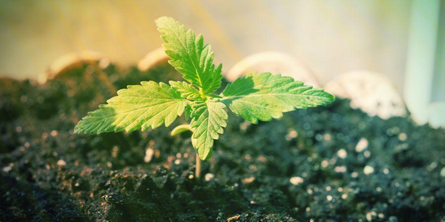 Kun Je Autoflowers Kweken Zonder Voedingsstoffen?