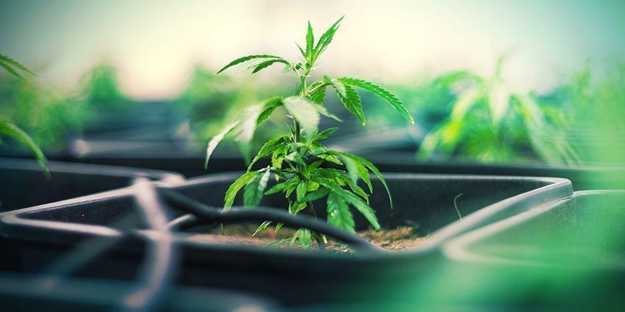 Plastic Potten Cannabis