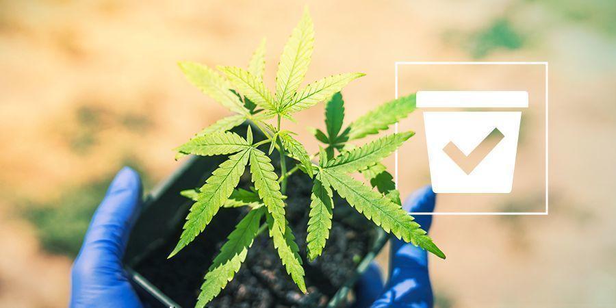 Beste Pot Cannabis Plant
